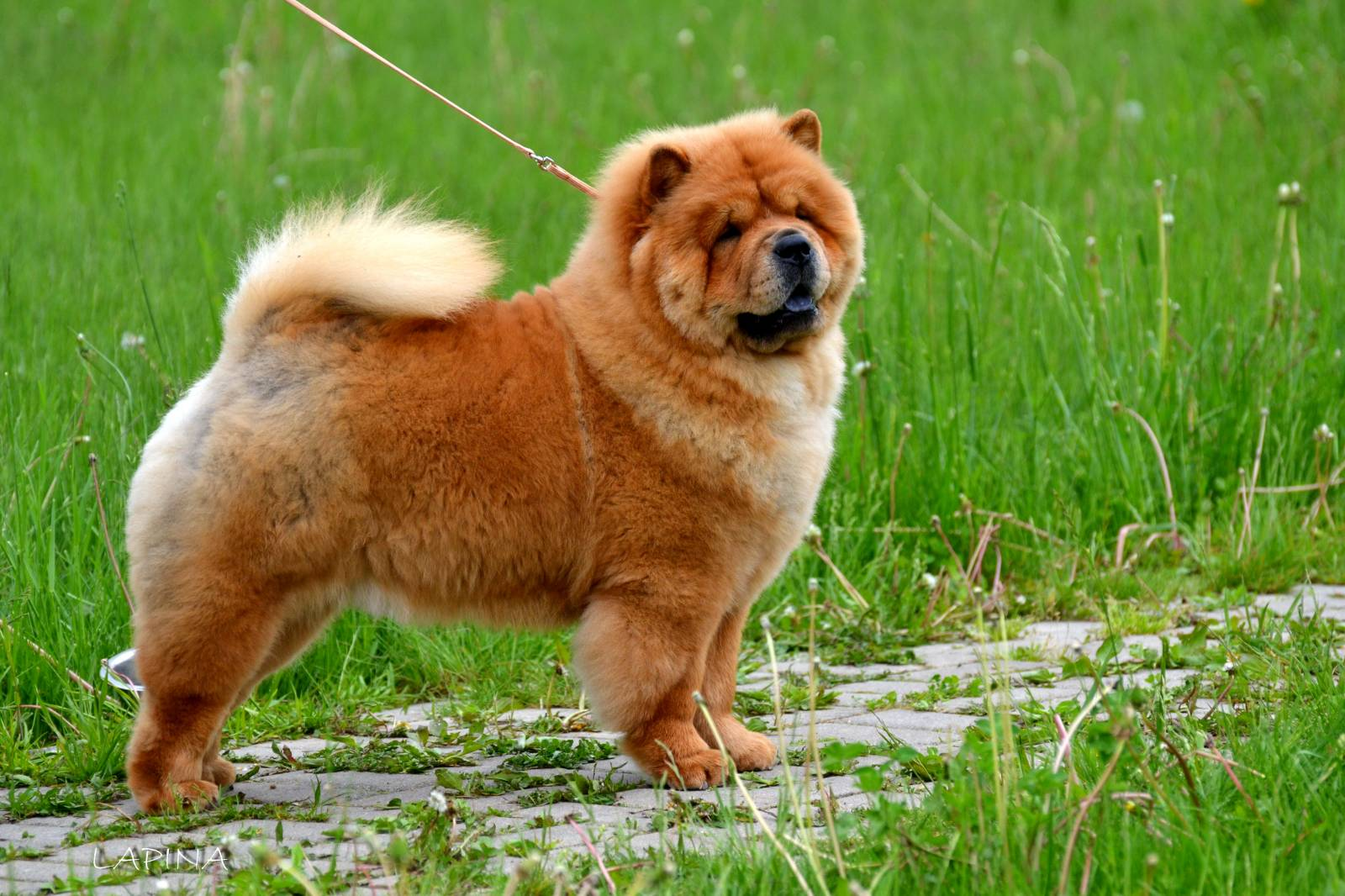 hardest dogs to train Chow Chow