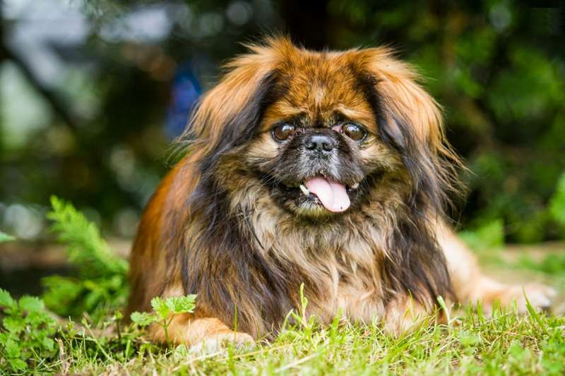 hardest dog to train Pekingese