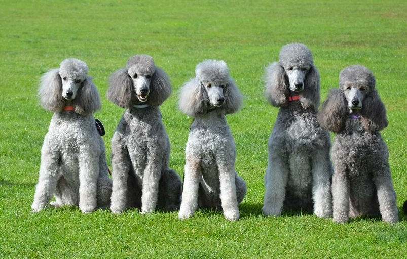 Easiest dogs to train Poodles